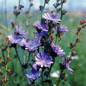 Ботаническая характеристика